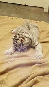 The baby tiger, looking as if it had fallen asleep mid-stroll.